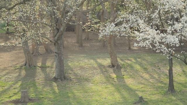 Magnolia Kobus Flowers video