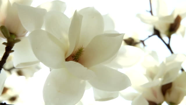 magnolia light flower video
