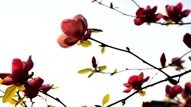HD: Magnolia Tree and Sparrow video