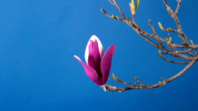 magnolia tree blossom video