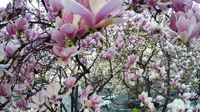 Magnolia trees branches on the spring time Milan streets slow motion footage. Italy.