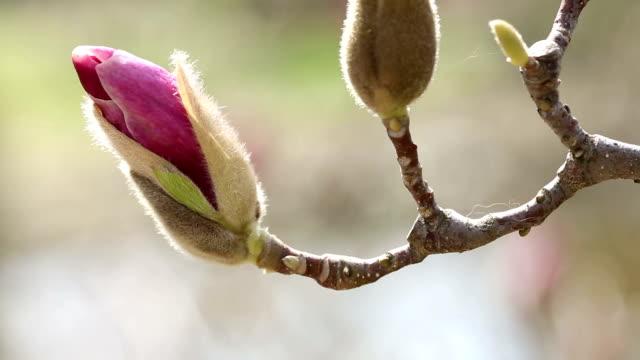 Magnolia video