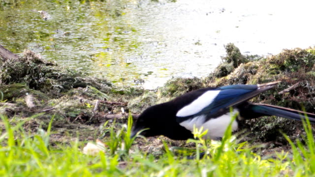 Magpie eats food video