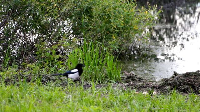 Magpie grabs a piece of bread video