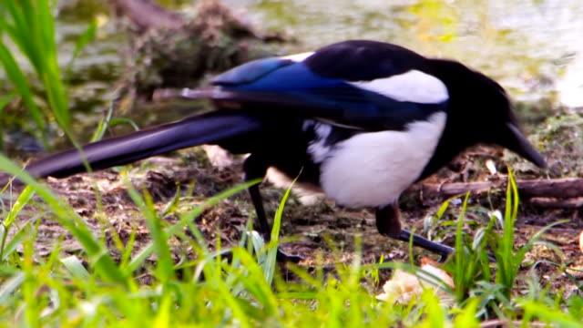 Magpie grabs bread video