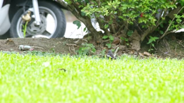 magpie robin eating food near the road video