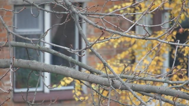 Magpie sits on a leafless branch of a nut, looks straight to the sides and then flies away (Pica pica) video