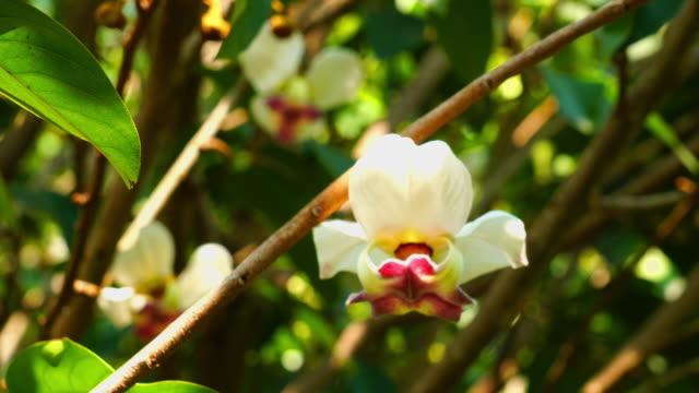 TÌNH YÊU CÂY CỎ  - Page 44 Mahaprom-rachini-flower-or-mitrephora-sirikitiae-hang-on-the-trees-video-id1147340812?s=640x640