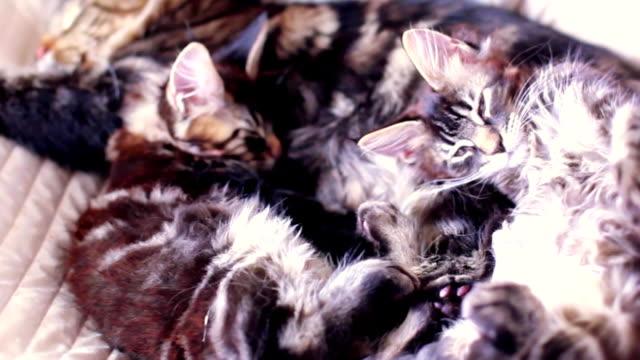 vídeos y material grabado en eventos de stock de maine coon gato y gatito abrazan y dormir en la cama. 1920 x 1080 - vibrisas
