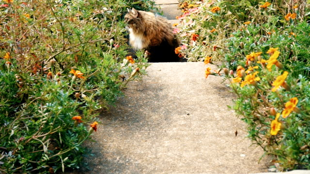 Maine Coon cat in outside garden startled and running back home through flowers on porch during sunny summer day video