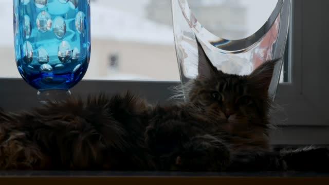maine coon katt liggande på fönsterbrädan. - morrhår bildbanksvideor och videomaterial från bakom kulisserna