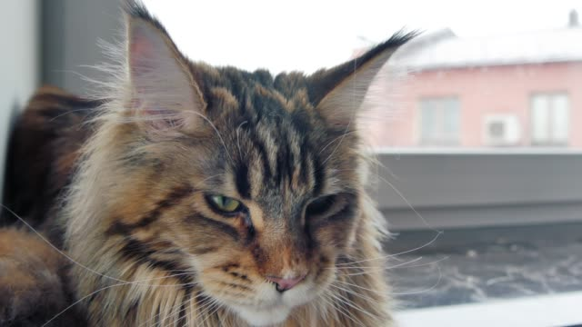 Maine Coon cat lying on the windowsill. Maine Coon cat lying on the windowsill. Shooting Close-up. animal whisker stock videos & royalty-free footage