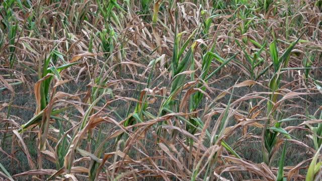 maisfeld mit getrockneten mais pflanzen, landwirtschaft, klimawandel, franken, bayern, 4k - wassersparen stock-videos und b-roll-filmmaterial