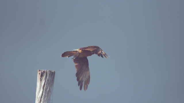 SLOW MOTION, DOF: Majestic brown raptor bird standing on wooden pole takes off.