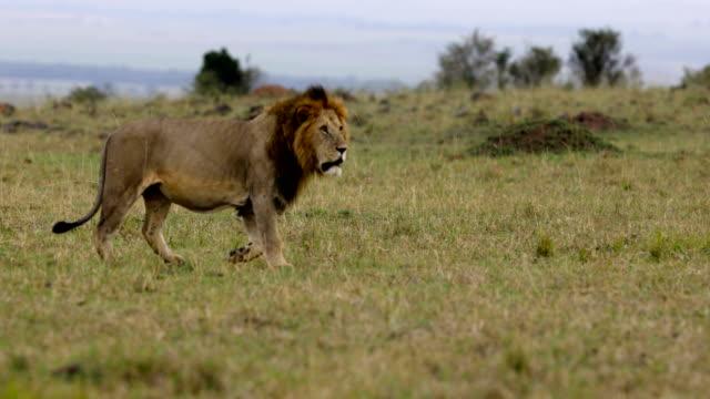 majestätisk lejon promenad - single pampas grass bildbanksvideor och videomaterial från bakom kulisserna