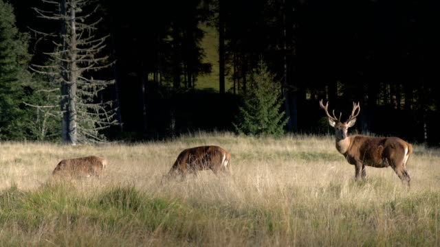Majestic male deer wildlife animal with family