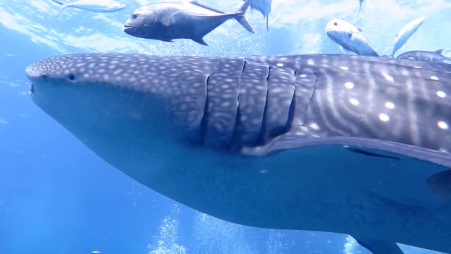Majestic whale shark swims slowly to camera