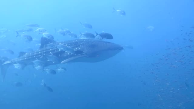 Majestic whale shark swims slowly with school of jack fisk