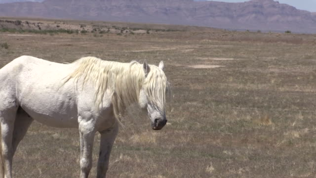 Majestic Wild Horse Stallion video