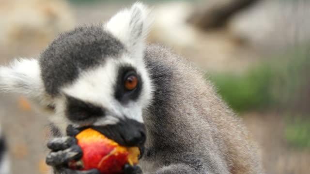 maki eet frukt - primat bildbanksvideor och videomaterial från bakom kulisserna