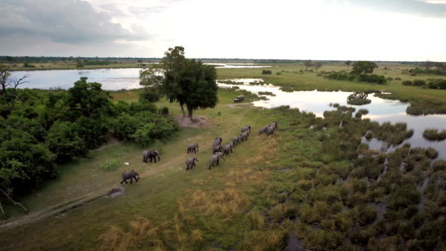 Making their way to water Hd drone footage of a herd of elephants crossing a river in southern Africa botswana stock videos & royalty-free footage