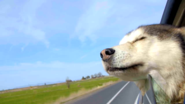 Malamute has her head out a car window