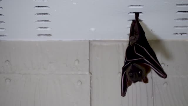 Malayan flying fox hanging under roof of house