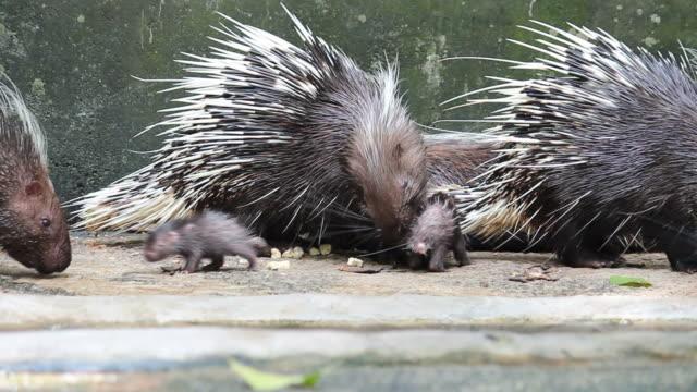 Malayan porcupine family Malayan porcupine family animal family stock videos & royalty-free footage