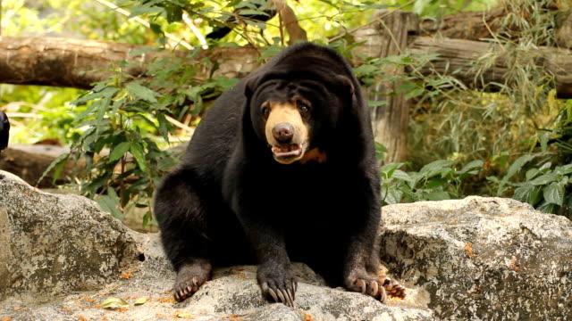 [Image: malayan-sun-bear-video-id167195128?s=640x640]