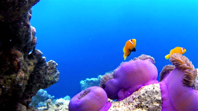 pesce pagliaccio delle maldive in un californica sulle maldive - under the sea fish video stock e b–roll