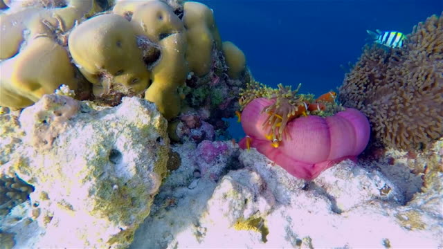 Maldives Clown Fish in a sea anemone on coral reef video