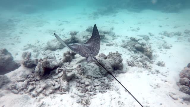vídeos de stock e filmes b-roll de maldives fish spotted eagle ray swimming underwater in sea ocean - uge