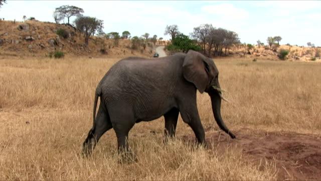 Mâle éléphant de savane africaine dans le Serengeti N.P. Tanzanie - Vidéo