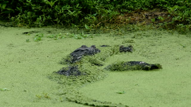 Male alligator with leg over female in duck weed covered water - vídeo