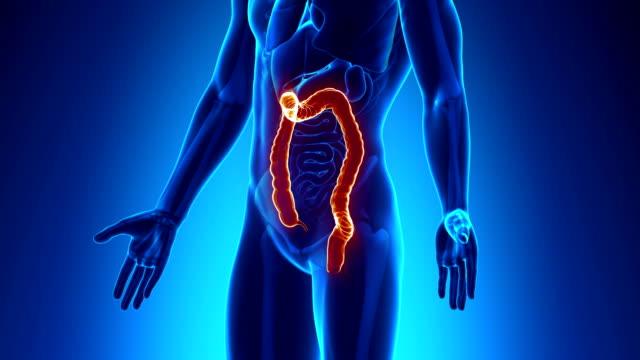 Male anatomy - Human Colon scan video