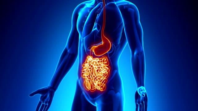 männliche anatomie-scan menschliche guts - menschlicher verdauungstrakt stock-videos und b-roll-filmmaterial