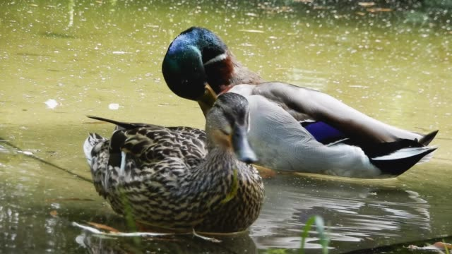 male and female duck on pond - animale femmina video stock e b–roll