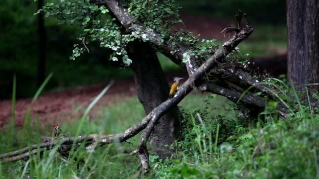 Male and female Flameback woodpeckers at play video