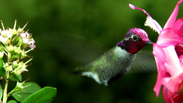 Male and female hummingbirds take turn for the pink flower