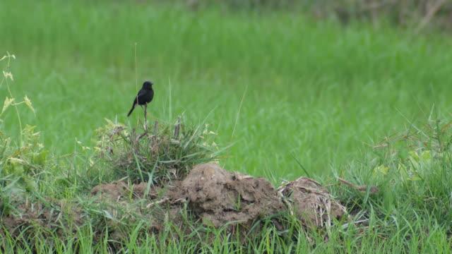 maschio e femmina pied bush chat uccello nel campo di riso - cespuglio tropicale video stock e b–roll