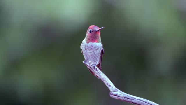 male anna's hummingbird flying to a perch - soltanto un animale video stock e b–roll