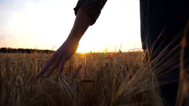 male arm of agronomist moves over ripe wheat growing on the meadow. young farmer walks through the barley field and touched with hand golden ears of crop. sunlight at background. low view slow motion - stelo video stock e b–roll