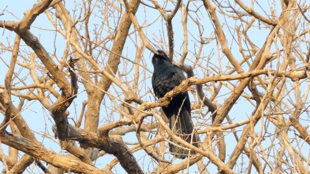Male Asian Koel on tree in tropical rain forest. video