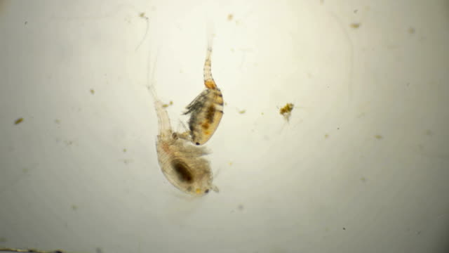 male attached to the female for fertilization under a microscope video