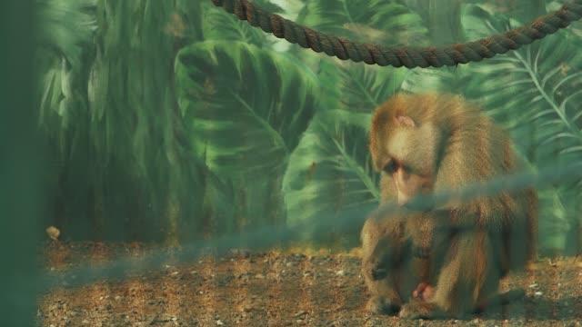 erkek maymun oturma ve dokunmadan penisini (papio cynocephalus) - penis stok videoları ve detay görüntü çekimi