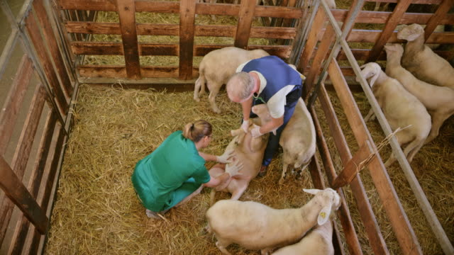 Male caretaker holding a sheep so the female vet can examine it video