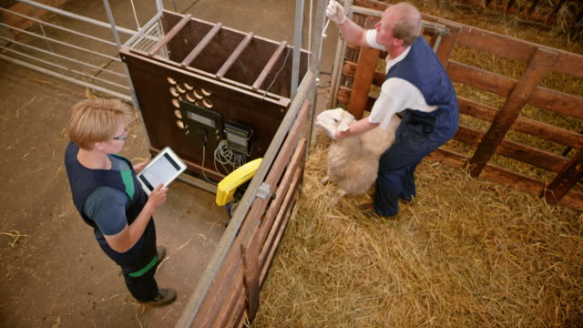 Male caretaker taking a sheep and putting it into weighing machine video