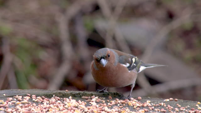 Male Chaffinch eating seed at a feeding station before flying away