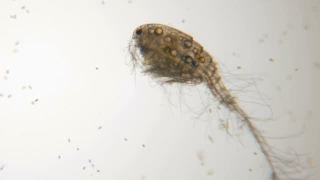 vidéos et rushes de cyclope mâle au microscope dans les eaux lacustres. bouchent. uhd 4k - coquillage