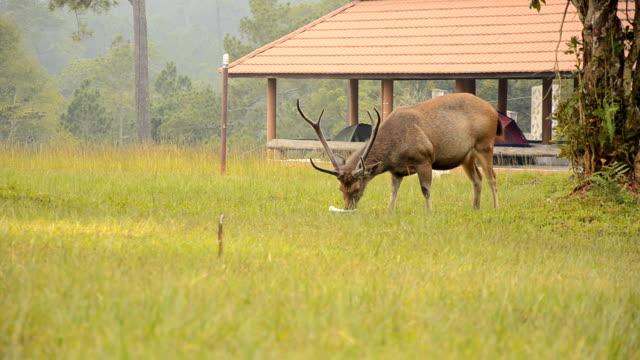 male deer eat - single pampas grass bildbanksvideor och videomaterial från bakom kulisserna